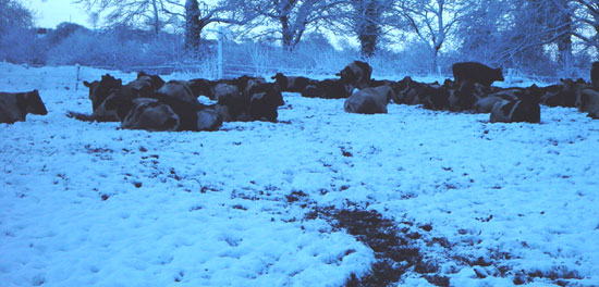 Dry cows on a Standoff / Out-Winter Pad